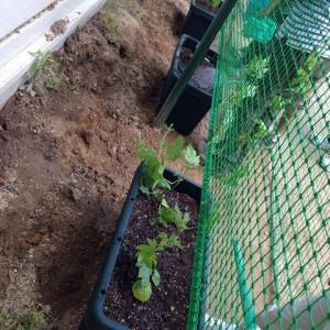 土曜保育の子どもたちとゴーヤの植え付け